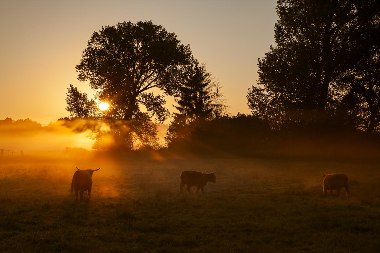 Neeracher Ried Sonnenaufgang Rinder