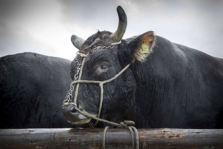 Stierenmarkt Zug