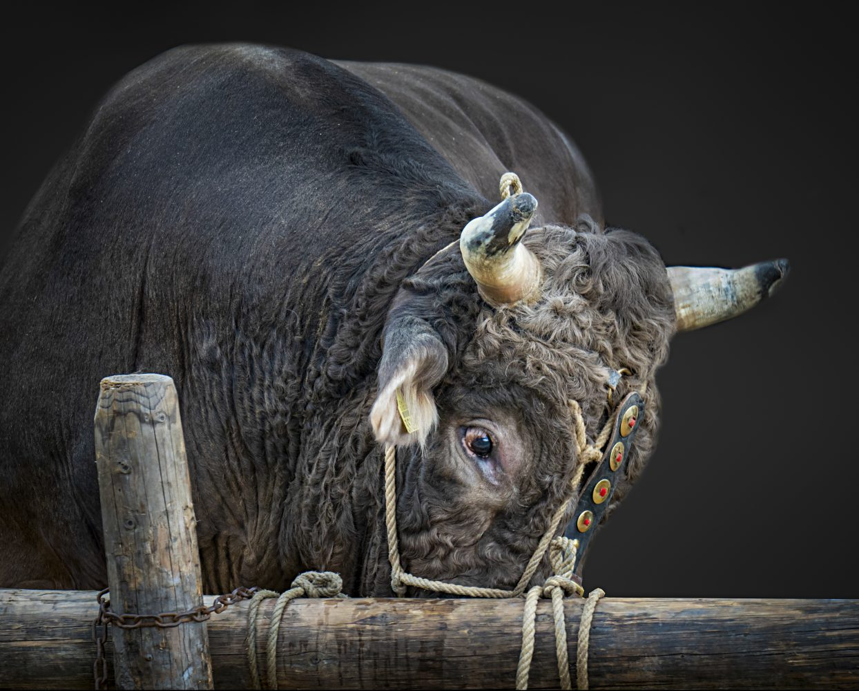 Stierenmarkt Zug, Stier