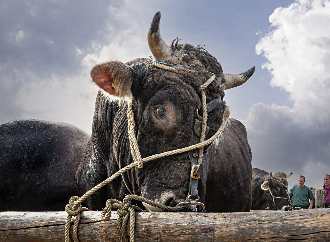Stierenmarkt Zug, Stier und Besucher