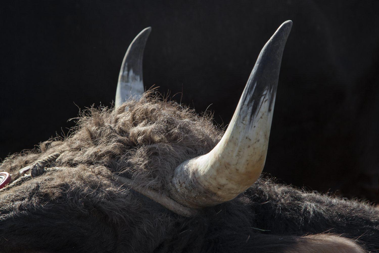 Stierenmarkt Zug, Stier, Hörner