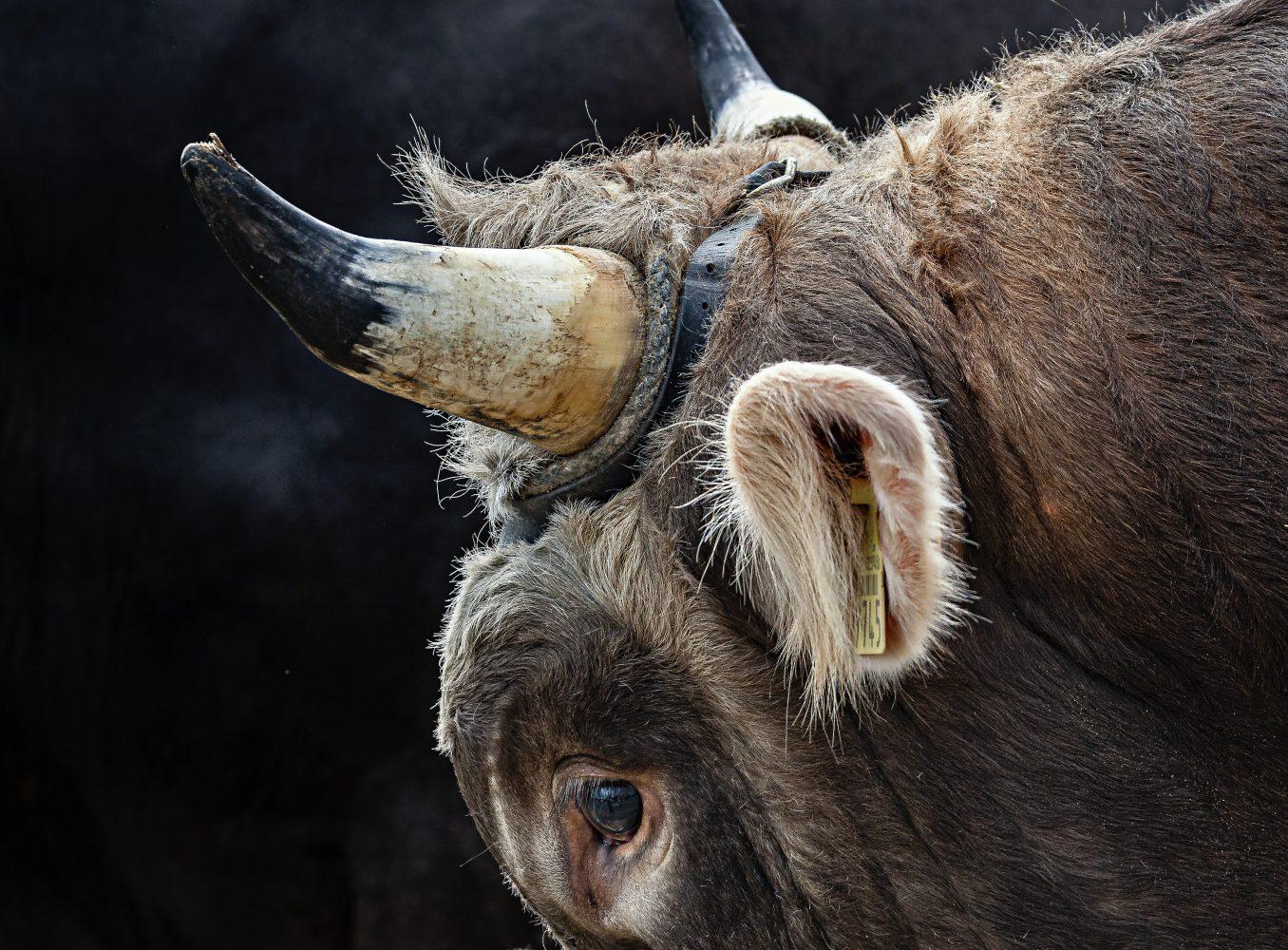 Stierenmarkt Zug, Stier, Detail: Auge und Horn